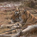 Tiger - Heart of India Tour